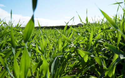 CROPS WATCH: Avoiding stress in spring barley is essential going forward